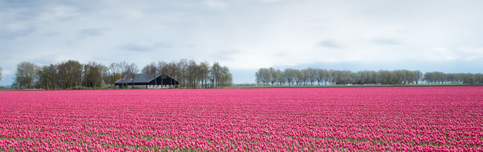 Best time to visit Amsterdam - tulips_opt.jpg