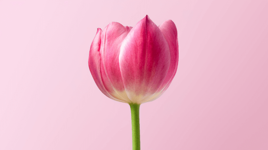 Amsterdam Tulips - pink tulip.png