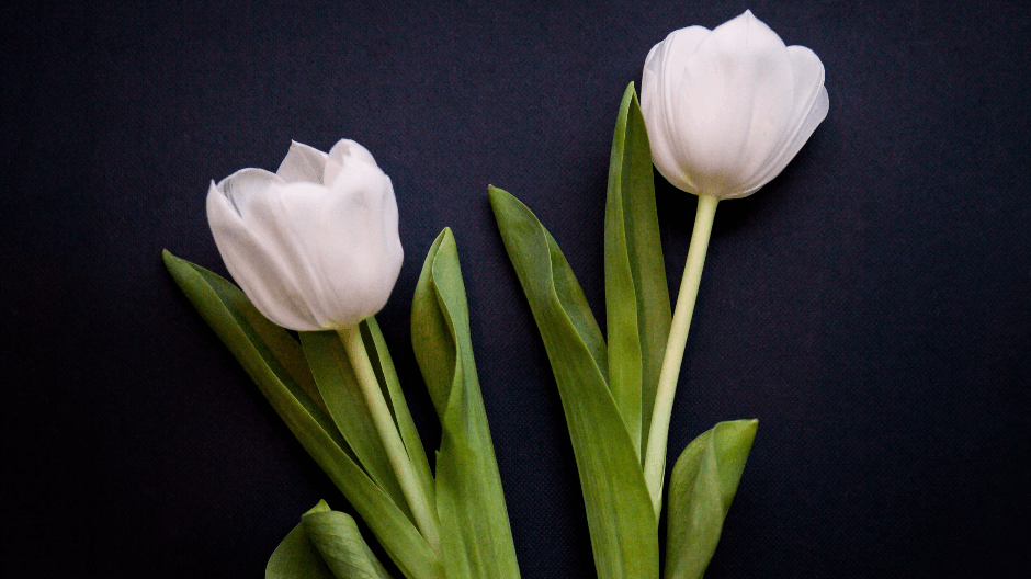 Amsterdam Tulips - white tulips black background.png